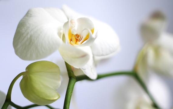 Orchidée, concept de la douceur